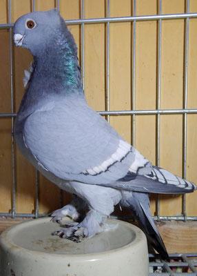 Altorientalisches Mövchen, Blondinette, blau mit weißen Binden