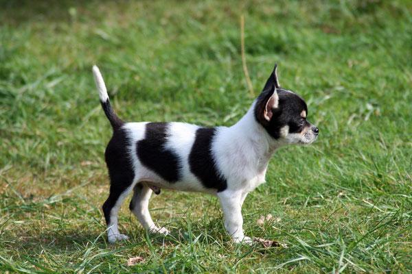 Schweiz Taischan Pomeranian Zwergspitz Chihuahua