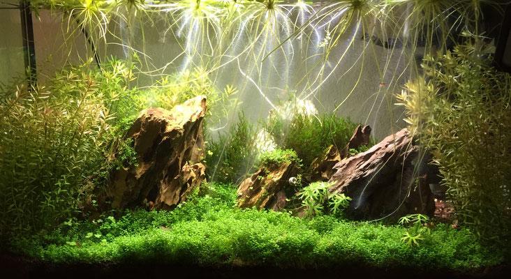54 Liter Low tech- Pflanzenbecken mit Kampffisch, Red fire Garnelen und Posthornschnecken