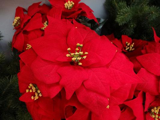 Stelle di Natale artificiali