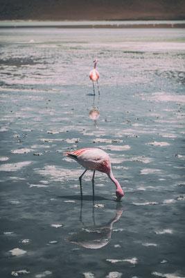 Flamingo Bolivien
