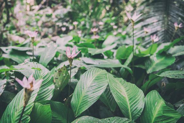 Amazonas-Lilien