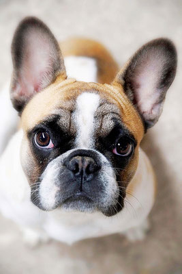 Frans Bulldogje