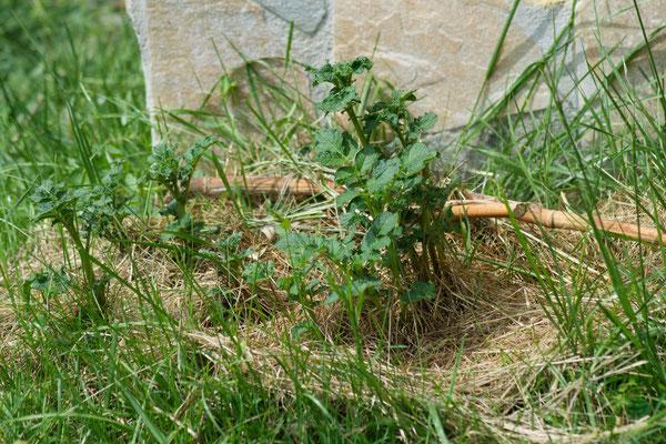 Le piante di patate piantate alla Mollison, venute fuori benissimo