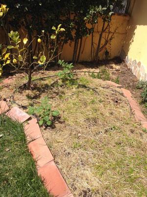 Le due piante di Borragine