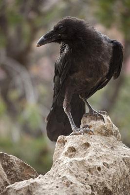 Grand Canyon - Crow