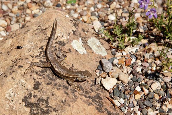 Grand Canyon - Lizard