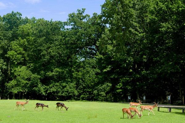 Das Damwild im Tiergarten in Ivenack