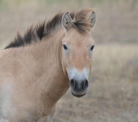 Przewalski-Pferd Equus ferus przewalskii (c) Christa Brunner