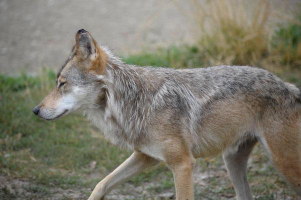 Wolf  Canis lupus (c) Christa Brunner