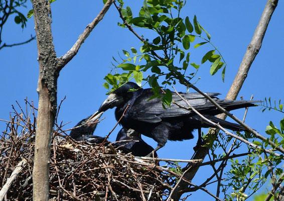 Saatkrähe (Corvus frugilegus) Christa Brunner