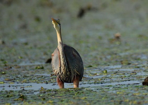 Purpurreiher Ardea purpurea (c) Christa Brunner