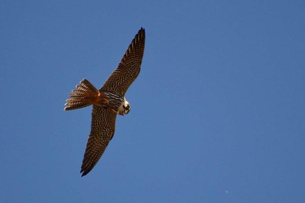Baumfalke Falco tinnunculus (c) Christa Brunner
