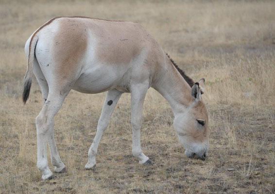 Ur-Esel, Asiatische Esel Equus hemionus (c) Christa Brunner
