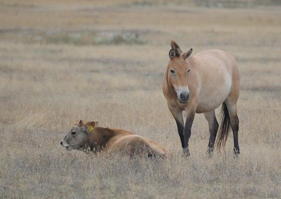Przewalski-Pferd  Equus ferus przewalskii mit einem jungen Ur-Rind  (c) Christa Brunner