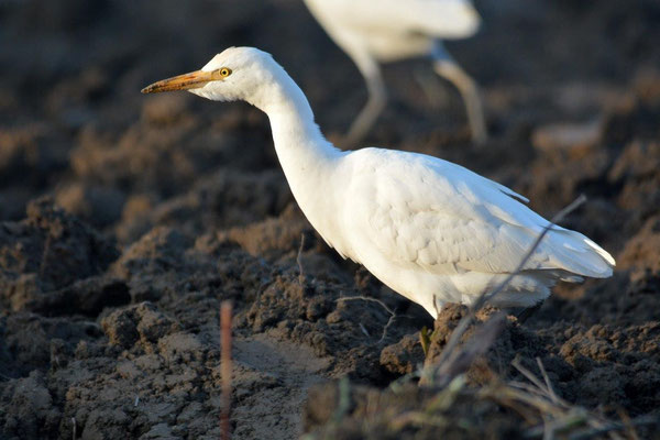Kuhreiher Bubulcus ibis (c) Christa Brunner