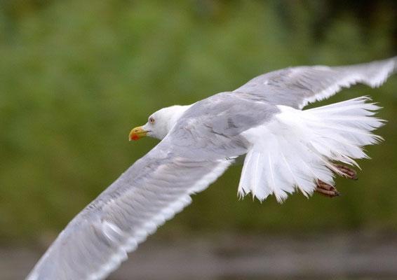 Steppenmöwe oder Weißkopfmöwe Larus cachinnans (c) Christa Brunner