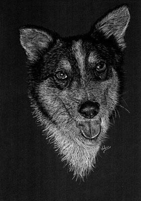 Dierenportret Husky-mix: Wit potlood en houtskool op zwart papier (2021)