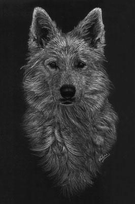 Dierenportret zwitserse witte herder: Wit potlood en houtskool op zwart papier (2015)