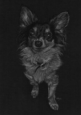 Dierenportret chihuahua: Wit potlood en houtskool op zwart papier (2016)