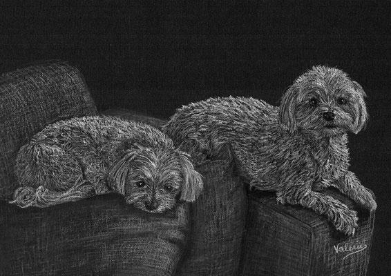 Dierenportret maltezers: Wit potlood op zwart papier (2015)