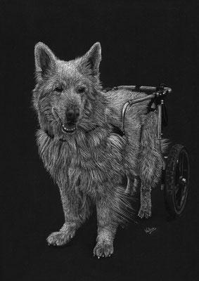 Dierenportret zwitserse witte herder in rolstoel: Wit potlood en houtskool op zwart papier (2016)