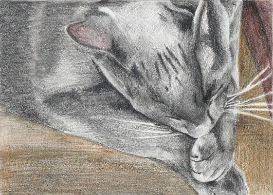 Dierenportret oosterse korthaar: Tekenpotlood en kleurpotlood op wit papier (2005)