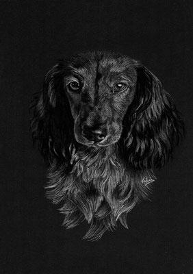 Dierenportret Teckel: Wit potlood op zwart papier (2021)