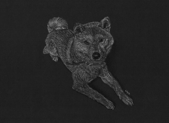Dierenportret Shiba Inu: Wit potlood op zwart papier (2018)