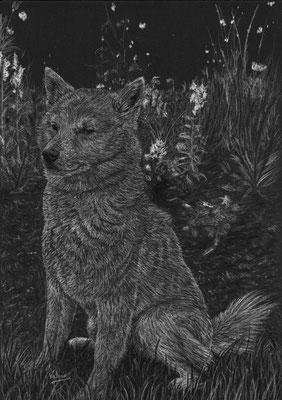 Dierenportret Shiba Inu in tuin: Wit potlood op zwart papier (2018)