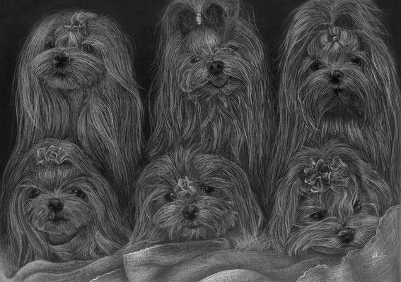 Dierenportret zes maltezers: Wit potlood en houtskool op zwart papier (2016)