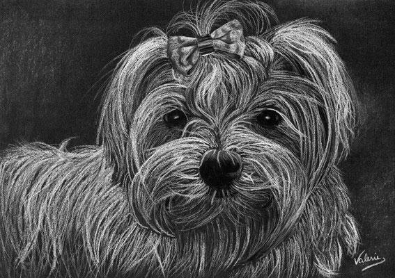 Dierenportret maltezer: Wit potlood op zwart papier (2014)