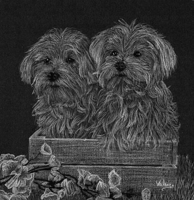Dierenportret twee maltezer in bakje: Wit potlood en houtskool op zwart papier (2016)