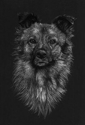 Dierenportret herder-mix: Wit potlood en houtskool op zwart papier (2015)