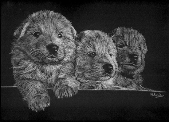 Dierenportret zwitserse witte herder pups: Wit contékrijt op zwart papier (2011)