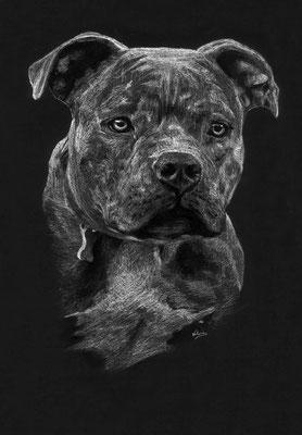 Dierenportret American Bully: Wit potlood op zwart papier (2018)