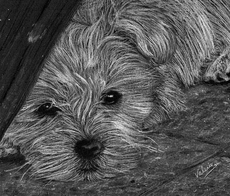 Dierenportret maltezer: Wit potlood op zwart papier (2015)