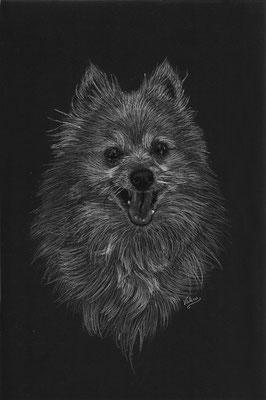 Dierenportret pomeriaan/dwergkees: Wit potlood en houtskool op zwart papier (2015)