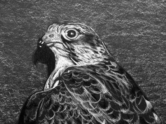 Dierenportret valk: Wit contékrijt op zwart papier (2014)