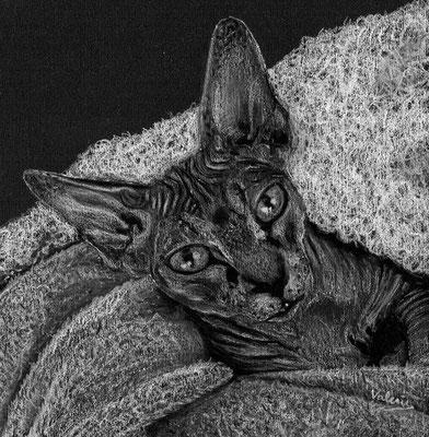 Dierenportret sfinx in deken: Wit potlood op zwart papier (2021)