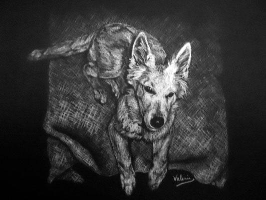 Dierenportret zwitserse witte herder pup: Wit contékrijt op zwart papier (2011)