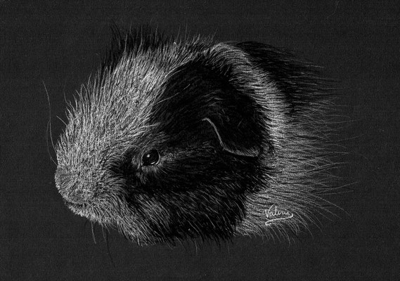 Dierenportret cavia: Wit potlood op zwart papier (2021)