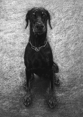 Dierenportret doberman: Wit potlood en houtskool op zwart papier (2016)