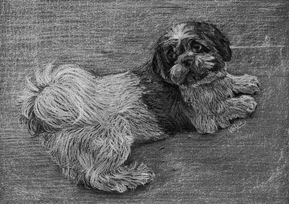 Dierenportret shih tzu: Wit potlood op zwart papier (2016)