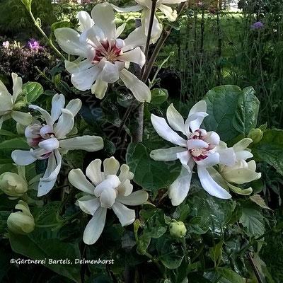 """Sinocalycanthus """"Venus"""" - orchideenähnliche Blüten"""
