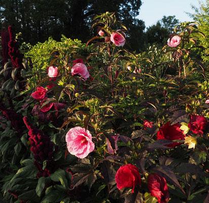 Unsere Staudenhibiskus wurden im Frühjahr 2016 in den Küchengarten von Schloss Ippenburg gepflanzt. Wie man sieht eine schmackhafte Farbenpracht.