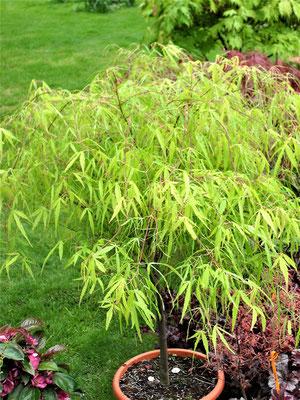 Acer palmatum Ko-to-noito-www.staudenhibiskus.com-gärtnerei bartels