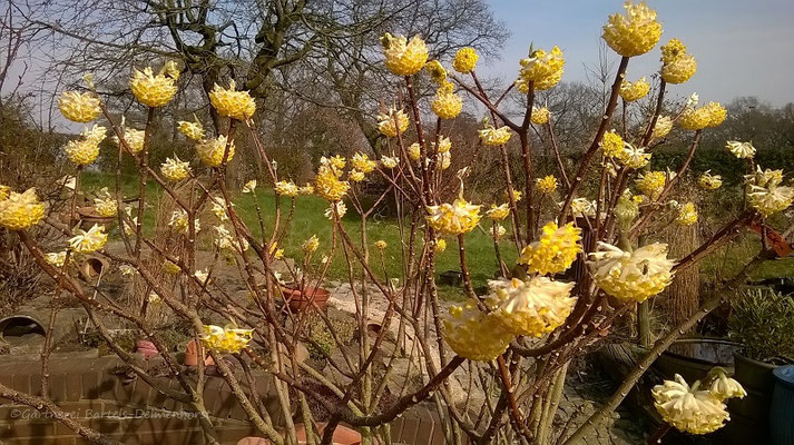 Edgeworthia chrysantha blüht in der Regel früh im März-April und lockt durch den intensiven Duft schon früh Schmetterlinge, Hummeln & Bienen an. www.staudenhibiskus.com-Gehölze