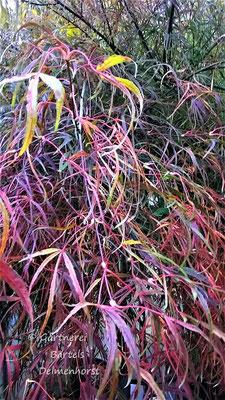 Acer palm. Ko-to-noito-Gärtnerei Bartels, Delmenhorst