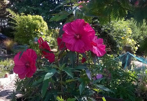 """Hibiskus """"Torchy"""" -wird im botanischen als Hibiskus x moscheutos beschrieben, allerdings birgt diese bot. Bezeichnung und die dt. Übersetzung einen Fehler, denn diese Stauden wachsen nicht in Sümpfen und somit ist der Begriff Sumpfeibisch nicht treffend."""